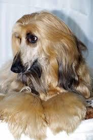 afghan hound grooming styles 209 best afghan hounds images on pinterest afghans afghan hound