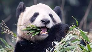 toronto zoo pandas costly bamboo diet gets boost from
