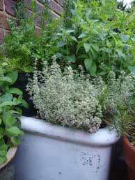 herbs grow well in an old belfast sink outside pinterest