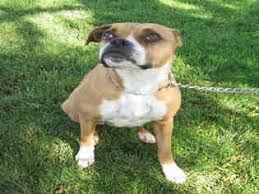 boxer dog rescue view ad boxer dog for adoption california oakdale usa