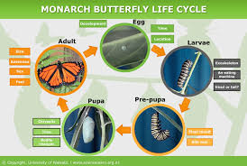 monarch butterfly life cycle u2014 science learning hub