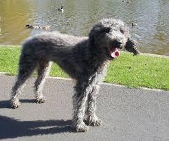 grooming a bedlington terrier puppy grooming ali u0027s answers