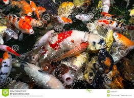 koi carp stock images image 35885354