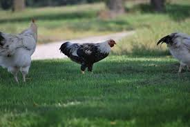 do hens and roosters mature at the same rate backyard chickens