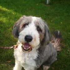 bearded collie brown bearded collie gus pinterest bearded collie collie and dog