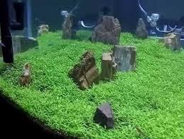 membuat aquascape bening cara menanam dan merawat carpet seed aquascape bibitbunga com