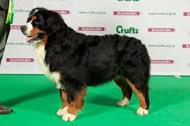 boxer dog crufts 2015 crufts 2015 results
