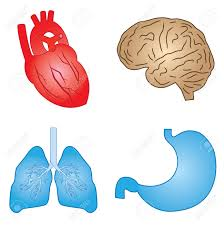 Pictures Of The Human Body Internal Organs Human Stomach Images U0026 Stock Pictures Royalty Free Human Stomach