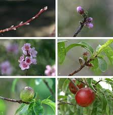 218 best native plants images on p peach wikipedia