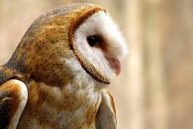 Scientific Name Of Barn Owl Barn Owl The Silent Predators Of The Night World