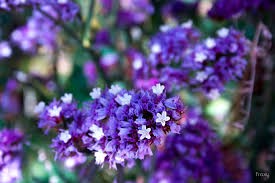 statice flowers purple statice flowers by froxy redbubble