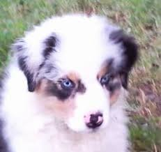 belgian shepherd for sale australia australian shepherd puppies for sale in texas wild wings