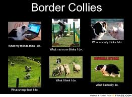 Border Collie Meme - 117 best the border collie images on pinterest architecture