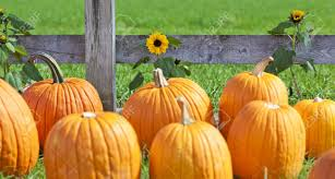 free halloween farm background pumpkin patch stock photos u0026 pictures royalty free pumpkin patch