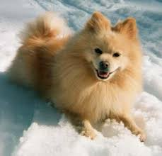 american eskimo dog chicago héra the corgi pomeranian mix being all cute for the cookie
