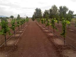 Growing Grapes Trellis Scott U0027s One Year Old Grape Vine Pictures Free Grape Growing Tips