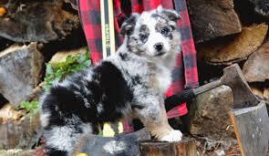 w lazy j australian shepherds autumn 2016 superfly dogs u2013 australian shepherds in british columbia