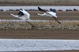 keeping whooping cranes safe in alabama alapark