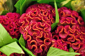 celosia flower new covent garden market