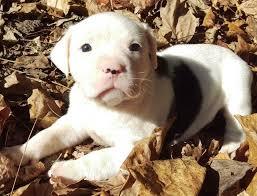 american bulldog x belgian malinois american bulldog puppies for sale