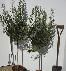 koroneiki olive tree decorative olive tree baby olive tree suppliers