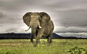 apple wallpaper elephant hd animals wallpapers elephant wallpapers for desktop