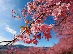 wonderful cherry blossom wallpapers cherry blossom pinterest