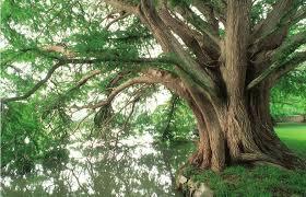 montezuma baldcypress american forests
