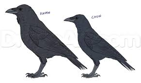 how to draw ravens step by step birds animals free online