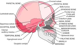 Parts Of Ethmoid Bone Skull Bones Definition Of Skull Bones By Medical Dictionary
