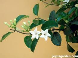 stephanotis vine care