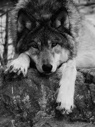 animals black and white wolf nature wolve gray wolf livalskare