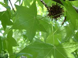 douglas maple acer glabrum pacific northwest native tree tree and shrub identification just another ubc blogs site