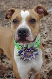 boxer dog female 93 best pits boxers u0026 mix images on pinterest boxer mix animals