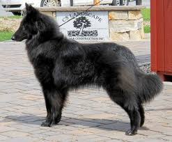 belgian sheepdog groenendael breeder beauvoir belgian shepherd puppies