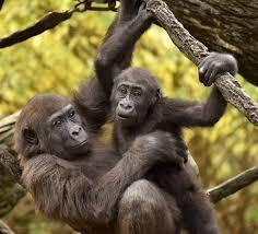 Gorilla by It U0027s Good To Be A Three Year Old Gorilla Cincinnati Zoo Blog