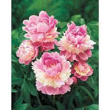 Peony Flower Peony Flower Bulbs Garden Plants U0026 Flowers The Home Depot