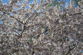 2 day washington dc cherry blossom festival annapolis tour from