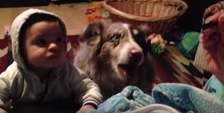 australian shepherd ksl australian shepherd shows baby how to say u0027mama u0027 video