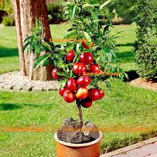 How To Grow Apple Trees In Backyard Compare Prices On Grow Apple Trees Online Shopping Buy Low Price