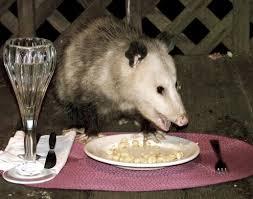 id a skunk track from a possum or raccoon u0027s bladeforums com