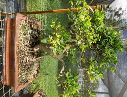 bonsai trees miami beach events aiand classes best bons in nmb