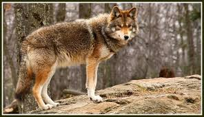 Coyote In My Backyard Opinion Suggs To Rtm Vote U201cno U201d On Coyote Trapping Law 06880