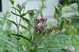 native missouri plants wildflower wednesday how ironic u2013 gardeninacity