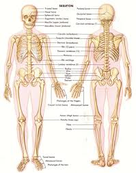 Images Of Human Anatomy And Physiology Bone Anatomy Physiology Human Anatomy Body