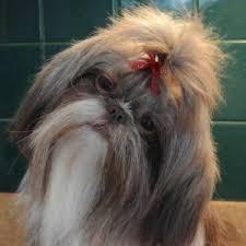 list of shih haircut shih tzu haircuts miracle shih tzu