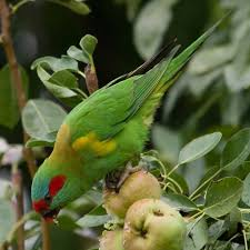 musk lorikeet on pear tree