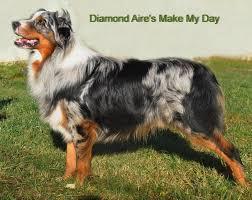 penn y caerau australian shepherds australian shepherd diamond aire u0027s make my day id 18491