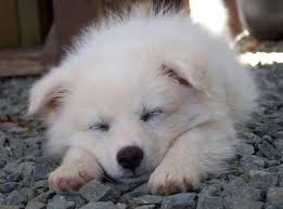 american eskimo dog yahoo 118 best american eskimo dog images on pinterest american eskimo
