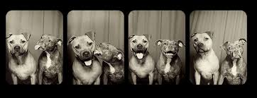 american pit bull terrier website invented fear and injustice we wrongly place on pit bulls one